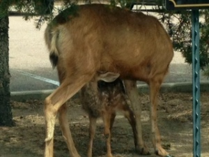 """Momma deer nursing at the """"Broadmoor"""""""